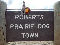 Roberts Prairie Dog Town in Badlands